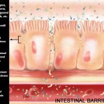 intestinal-barrier